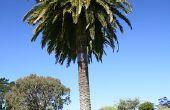 Palm Tree ziekten & behandelingen