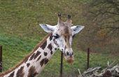 Verschillende Giraffe soorten