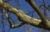 Insecten en ziekten van Sycamore Trees