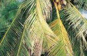 Beschrijving van een kokosnoot boom