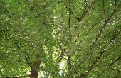 Hoe & wanneer snoeien & vorm van Noorwegen Maple bomen