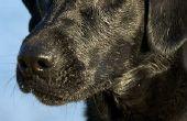 Hoe een zwarte Lab hond trainen