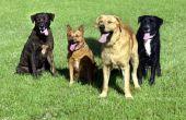 Wat doet het betekent wanneer honden Pant?
