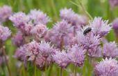 Hoe te vertellen als lavendel planten dood zijn