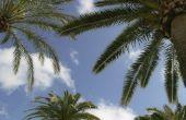 Hoe de zorg voor & Feed palmbomen