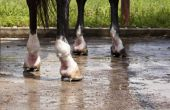 Het toepassen van een pappen suiker voor een paard