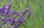 Hoe om te verdunnen van uw lavendel etherische olie