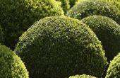 Globe groenblijvende struiken