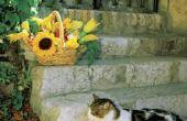 Trompet Vine katten vergiftigen?