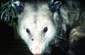 Hoe krijg ik een Possum uit onder een loods