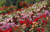 Low-onderhoud rozen voor Rose tuinen