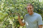 Welke oorzaken zwart laat op Pear bomen?