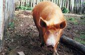 Hoe de helft van een varken gebraden