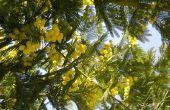 Mimosa boom plagen