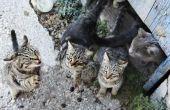 Hoe te temmen een Verwilderde kat of Kitten
