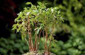 Hoe de zorg voor de Ficus Benjamina