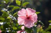 Witte schimmel op een Hibiscus Plant