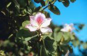 Lijst van bloeiende bomen