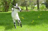 Hoe te identificeren en behandelen van witte spier ziekte bij geiten