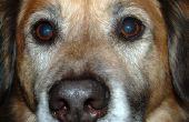 Diarree bij oudere honden