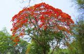 Hoe de zorg voor een boom Royal Poinciana