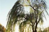 Soorten bomen met ondiepe wortels