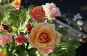 Aanpassingen van planten van Rose