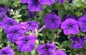 Paarse bloem identificatie