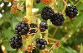 Mulberry boom symboliek