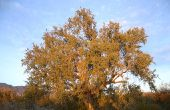 Mesquite boom allergieën