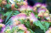 Mimosa Plant verzorging