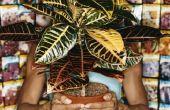 Hoe schoon een blad van de rubberboom met een huis remedie
