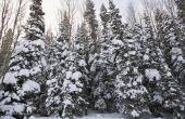 Bomen die niet hun bladeren in de Winter verliezen