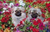 Welke Trellis Plant Is niet giftig voor honden?