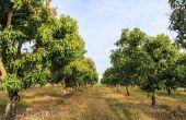Kaliumnitraat toepassen op mangobomen