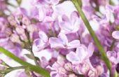 Wat Is het groeitempo op jaarbasis van een Japanse Lila boom?