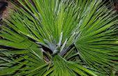 Hoe vorm van een Europese Fan Palm