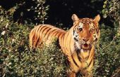 Hoe teken je een tijger voor kinderen