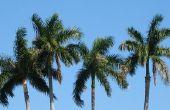 Hoe te beginnen een Palm groei van bedrijf