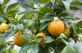 De soorten ongedierte op sinaasappelbomen