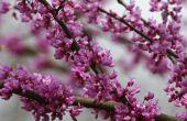 Hoe te beginnen een Redbud boom