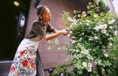 Hoe te identificeren van een struik met witte Wildrose
