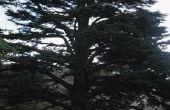 Hoe te de vruchten plukken van een ceder boom