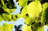 Lindehouten boom feiten