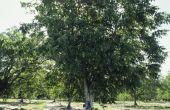 Hoeveel zijn Walnut Trees waard?