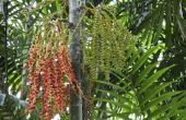Hoe Trim een palmboom