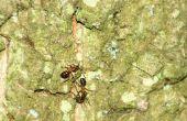 Het gebruik van zout om te doden van bestrating mieren in de oprit