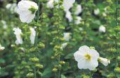 Wat Is de officiële naam voor een roos van Saron struik?
