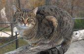 Artritis medicijnen voor katten