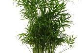 Wat Is het Best potgrond voor bamboe?